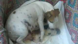 parto jack russel terrier Coroncina