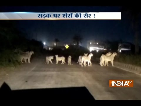 Caught on Camera:  Lions stroll the roads of Gujarat