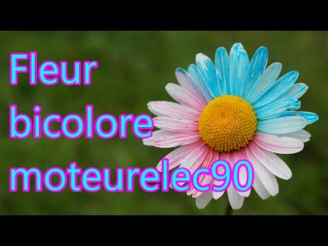 fleur bicolore : comment colorer une fleur ? expérience (tuto