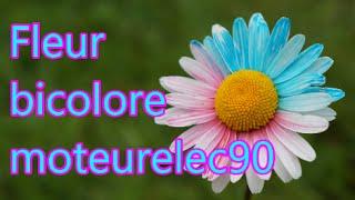 Fleur bicolore : Comment colorer une fleur ? Expérience (Tuto)