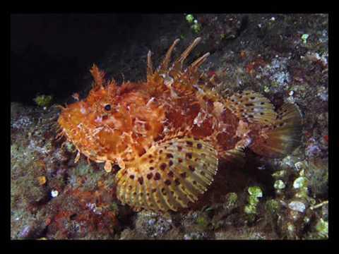 6 pesci piu pericolosi nel mediterraneo by mister x youtube - Pesci piu comuni in tavola ...