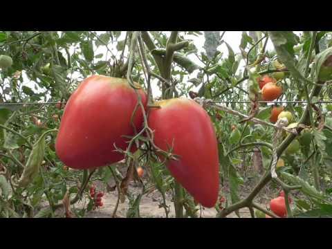 Коллекционный сорт томатов Чудо земли.