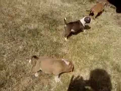Oklahoma Blue Thunder Bullies Puppies