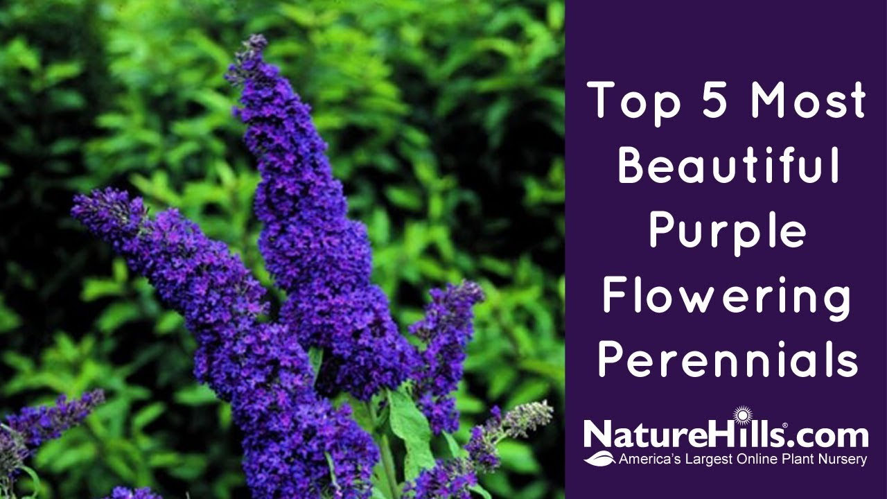 Top 5 Most Beautiful Purple Flowering Perennials Naturehills