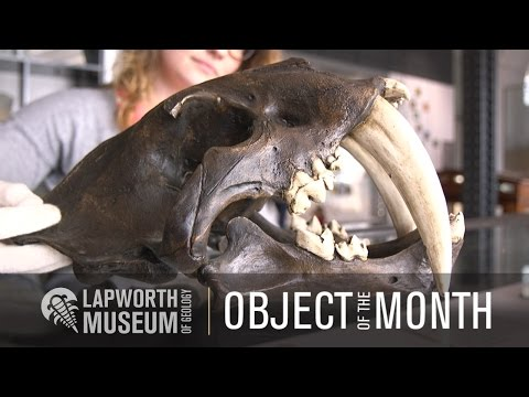 Smilodon Skull - Object Of The Month - Lapworth Museum Of Geology