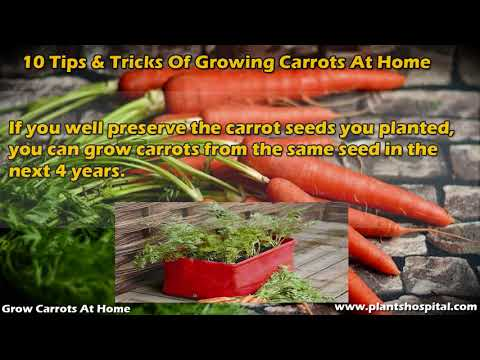 How To Grow Carrots At Home: 10 Tips & Tricks Of Growing Carrots