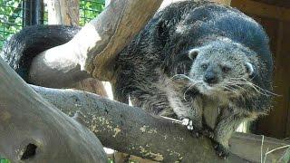 Бинтуронг в Новосибирском зоопарке