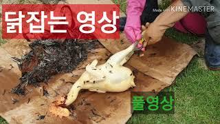 토종닭 잡는 영상(2) (2020 .5)