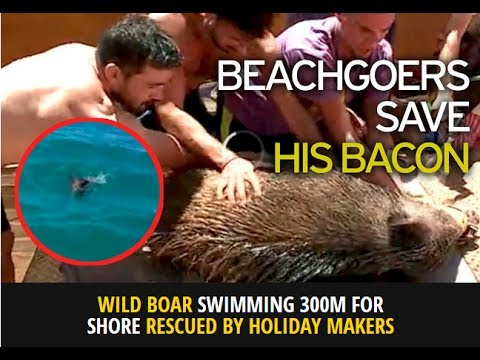 Wild boar found swimming 300m off Algarve beach is rescued by holidaymakers on jet ski