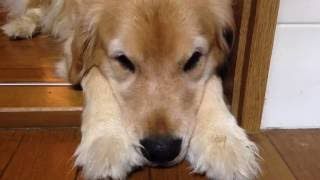 Hi,there! how are you? Do you know my golden retriever Alia? she is...