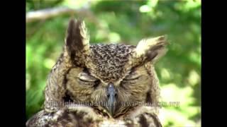 видео Bubo virginianus (Claude Ghezi)