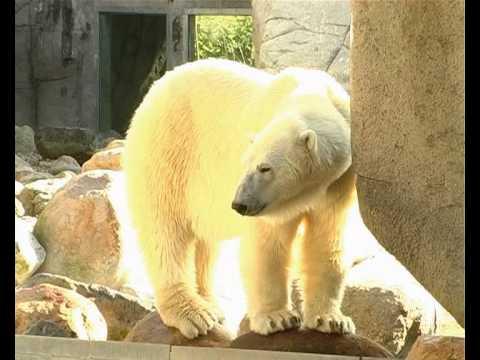 aalborg zoo isbjørneunge live
