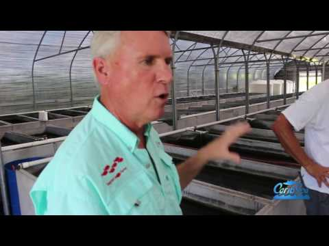 Harvesting/Seining Glo fish with Segrest Farms