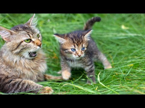 Funny Cat Videos - Mom Cat Talking to Kittens Cute Cat Videos (2019)