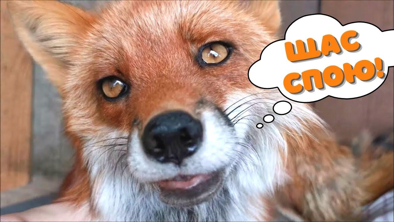 """Звуки лисы: несложный выбор между """"лаять"""" или """"скрипеть"""""""