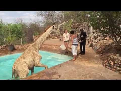 Thumbnail: Viral Video UK: Giraffe gets rescued from pool!