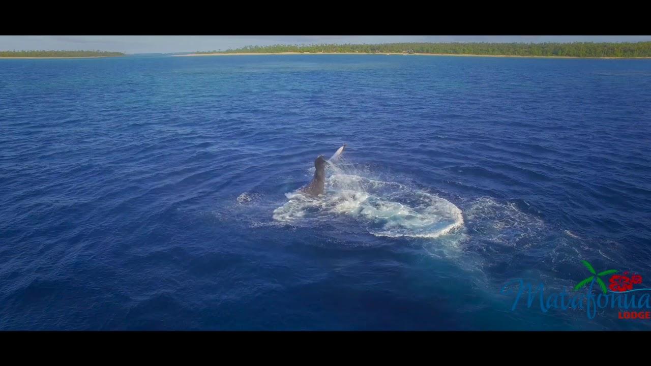 Foa Island Humpbacks Matafonua Lodge Ha Apai Tonga