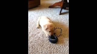 Yellow Labrador Retriever Puppy For Sale! Black Collar Male- Michigan Elite Labradors