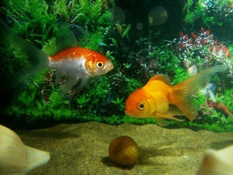 New Goldfish Tank