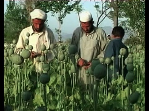 The Worst Narco-State in History? After 13-Year War, Afghanistan's Opium Trade Floods the Globe