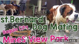 How to assist St.Bernard Large dogs Mating