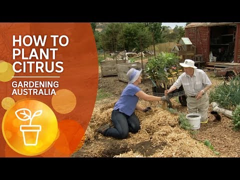 How To Plant Citrus: The Ian Tolley Way
