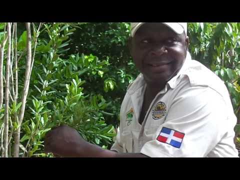 Canelila Medicinal Plant