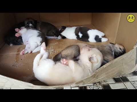 새끼 강아지 6마리(세상구경15일차) #7화 (60FPS) Korea Dogs