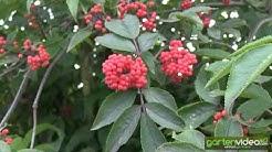 Roter Holunder - roter Traubenholunder Anna