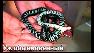 Змея притворяется мёртвой. Snake pretending to be dead