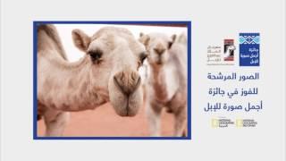 4 مسابقات مثيرة في مهرجان الملك عبد العزيز للإبل.. وNational Geographic حاضرة في التحكيم