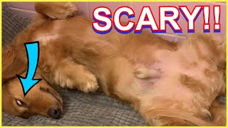 [FUNNY] Dachshund Sleeps with Eyes Rolled In the Back of His Head!!