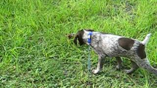 Max The German Shorthaired Pointer Points