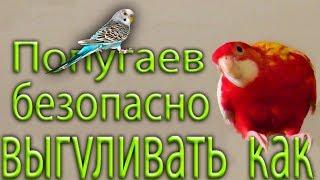 как можно выпускать попугаев погулять Розелл Корелл Нимф Волнистых