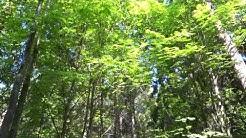 Idänuunilintu, Greenish Warbler (Phylloscopus trochiloides) laulaa