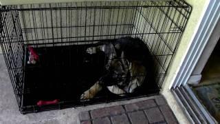 Crate Training German Shepherd Puppy 'rambo'