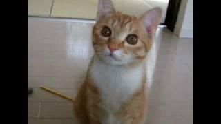 こむぎ猫 鳴き声かわいい 遊んでのおねだり Cat meow She'd like to play thumbnail