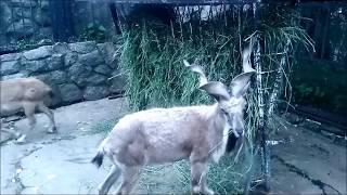 Винторогий козел. Funny animals. Зоопарк в Москве. Moscow Zoo