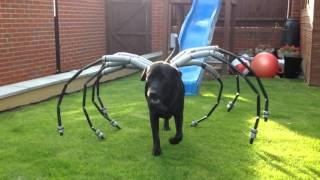 Spider dog Labrador Harvey star