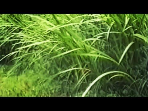 Трава сабельник. Фото