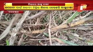 Sugarcane Farmers In Balasore Forced To Distress-Sell Their Produce