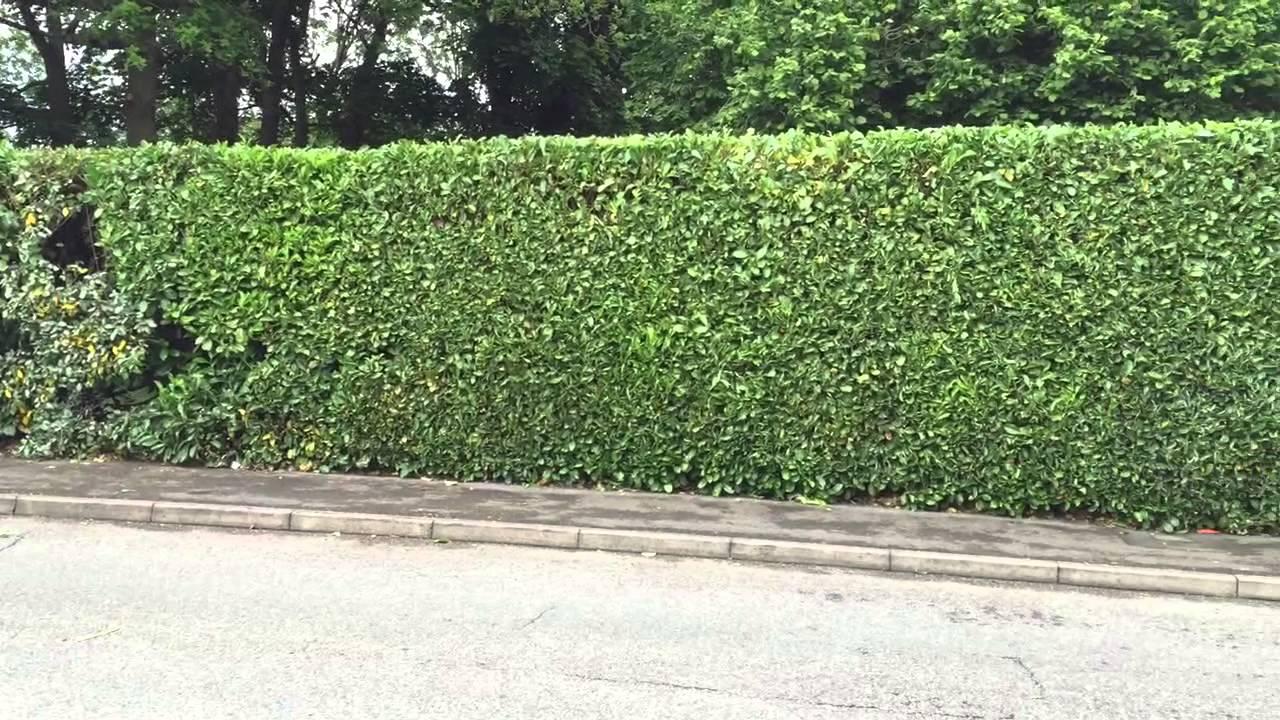 Laurel Hedge After T