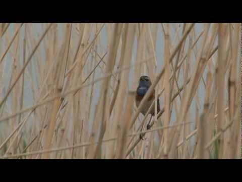Vroege Vogels - Blauwborst, snor en veenmol