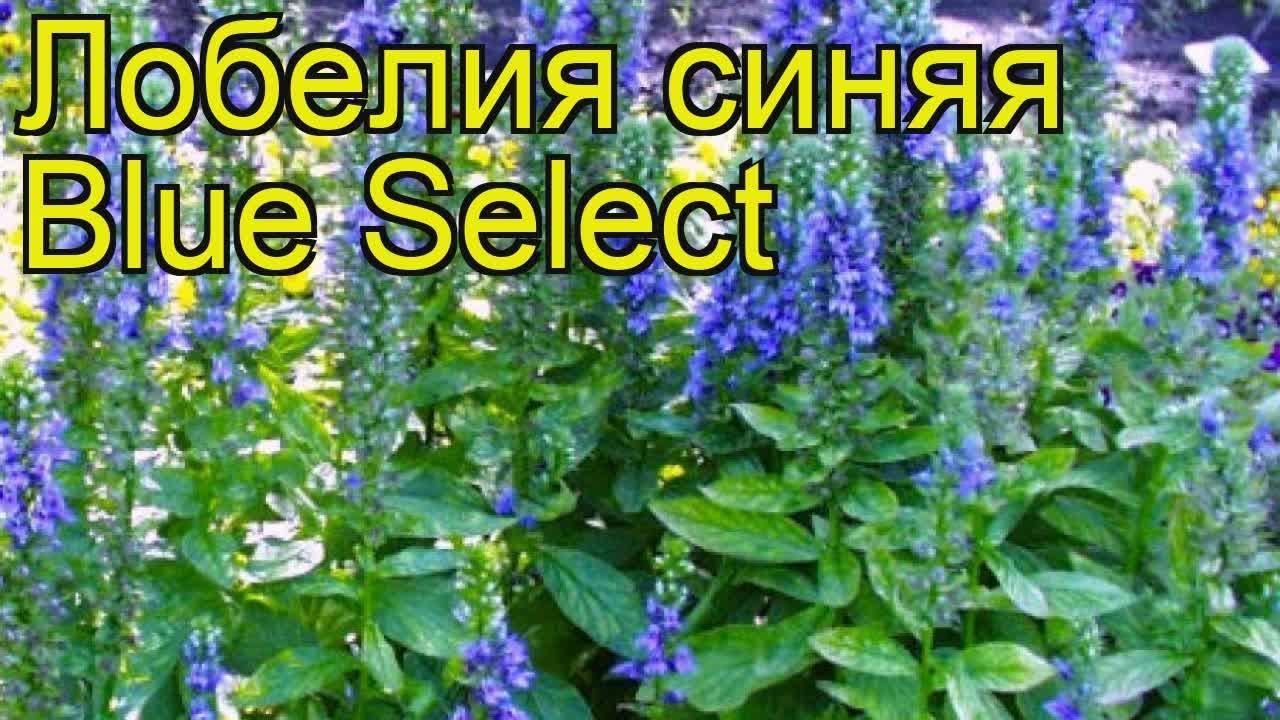 лобелия синяя блю селект краткий обзор описание характеристик