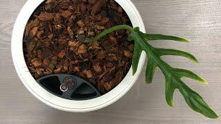 Тропическая лиана Филодендрон в кашпо с автополивом Lechuza