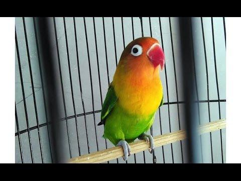 Lovebird Super Ngekek Panjang Nonstop (Love Bird Gacor)