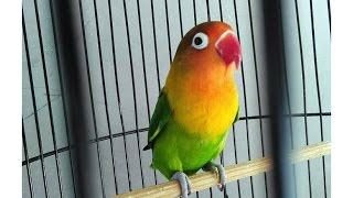 Download Lovebird Super Ngekek Panjang Nonstop (Love Bird Gacor)