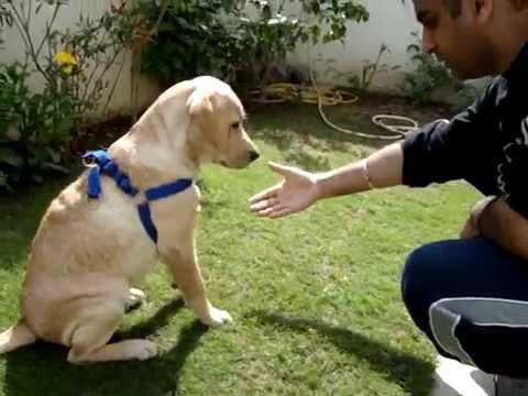 Labrador Home Tricks