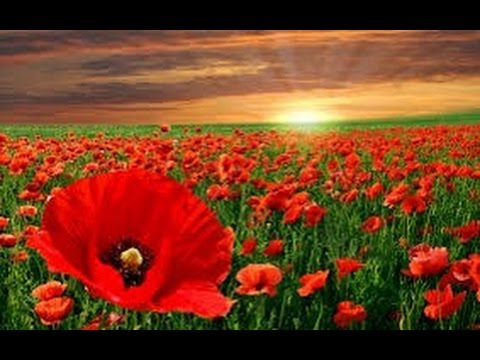 How to grow poppies from seeds hindiurdu youtube how to grow poppies from seeds hindiurdu mightylinksfo