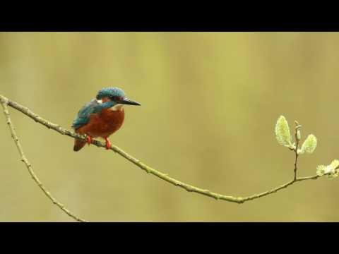 Robert E Fuller: Kingfisher a Splash of Colour as it goes fishing